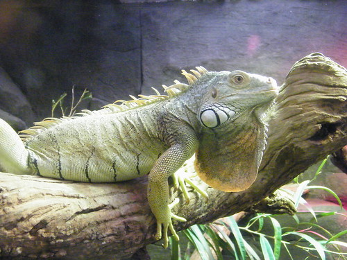 Green iguana @Melbourne Zoo