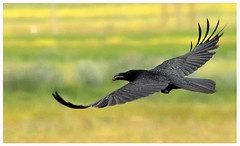 black crow in flight (aziouezmazouz) Tags: nature amazing nikon colours action bokeh flight crow soe beautifulscenery bellissima vibrantcolours supershot beautifulshot platinumphoto colorphotoaward theunforgettablepictures thebestofday gnneniyisi rubyphotographer grouptripod