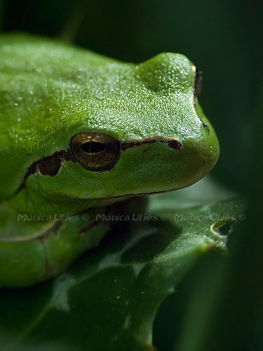 Hyla meridionalis II (by Puckyirethtream)