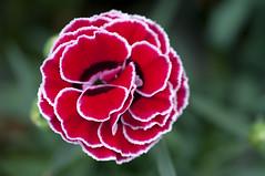 (Per Erik Sviland) Tags: plant flower macro nikon bokeh erik per d300 pererik sviland sqbbe pereriksviland