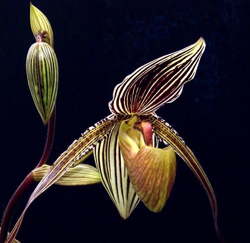 An Orchid Tuxedo