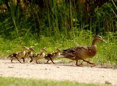 Slow slow quick quick slow (Kirsten M Lentoft) Tags: denmark duck ducklings featheryfriday smørmosen betterthangood kirstenmlentoft klausdalsbro
