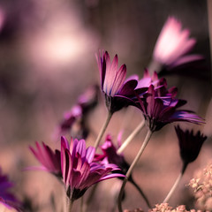 rough winds do shake the darling buds of fairly predictable quotes (harold.lloyd) Tags: petals purple bokeh magenta windy bent gusty winds kinda asters stalks 50mmf14 thrice sfd daisery solongasmencanbreatheoreyescanseesolonglivesthisandthis