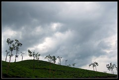 Wynadan Curves (Chippu Abraham) Tags: sky green leaves rain estate cloudy tea curves kerala plantation wayanad wyanad wynad cashcrop