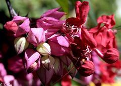 Lágrima de Cristo (Claudia Telles) Tags: flowers insetos insets flres