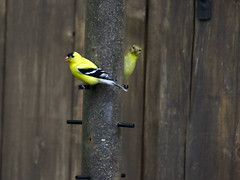 Finches (Rock Steady Images) Tags: ontario canada bird canon handheld rebelxt 50views adobebridge alliston 25views photoshopcs3 canonef70300mmf456 7pointsystem bypaulchambers topazvivacity rocksteadyimages