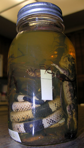 BONELUST - Dad's Pickled Jar of Texas Creatures from 1950: Texas Horned Lizard, Giant Centipede, Wood Boring Beetle (Possibly Click Beetle), Faded Coral Snake, Giant Unidentified Flying Insect, Other Insect/s