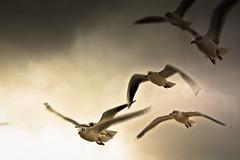 IMG_0590 (Spieler Family) Tags: vögel möwen boltenhagen mwen vgel