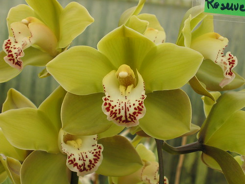 Cymbidium Orchid Colors Green Cymbidium Orchid