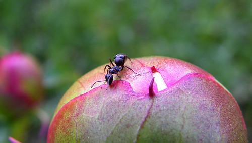 Ant III