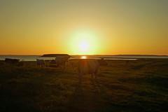 Getting old (Kirsten M Lentoft) Tags: sunset water grass denmark nikon cows fjord roskilde naturesfinest abigfave dragondaggerphoto kirstenmlentoft