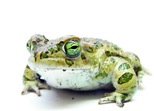 フリー画像| 両生類| 蛙/カエル|         フリー素材|