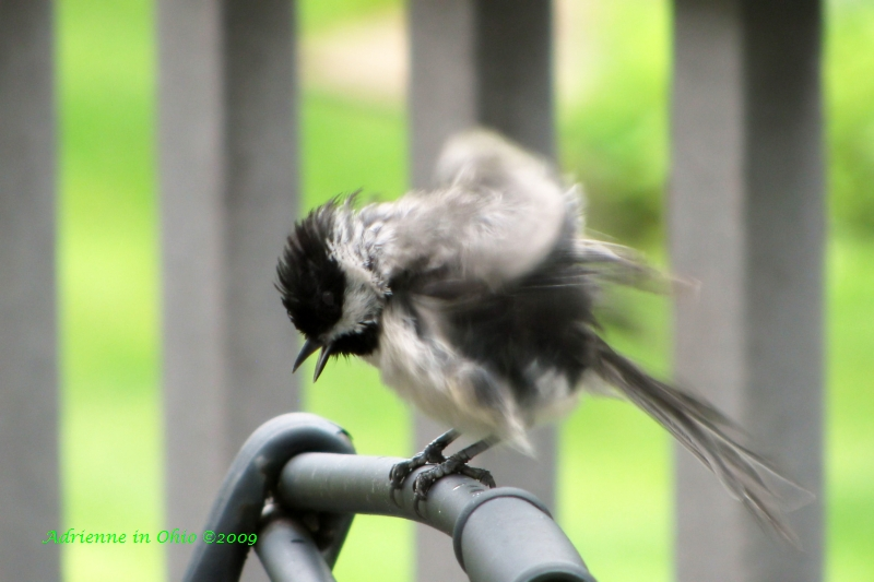 fluffy chickadee photo by Adrienne in Ohio