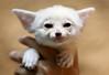 Fennec fox (floridapfe) Tags: baby white cute animal zoo nikon korea fox fennec everland 에버랜드 fennecfox d80 aplusphoto platinumheartaward