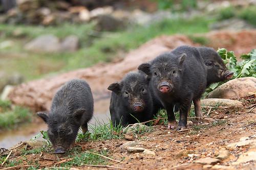 IMG_5358-w Piglets
