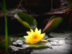 Soft Glow (joehall45) Tags: red brown green yellow pond lotus picnik lillypads worldbest
