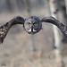 Great Gray Owls Flight Path