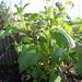melissa officinalis / citroenmelisse