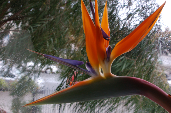 4Bird-of-paradise,-very-close.jpg