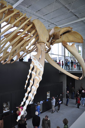 Beaty Museum - blue whale 6