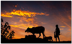 under the fire (Soumya Bandyopadhyay) Tags: sunset red sky silhouette clouds rural landscape fire village cows dusk wide farmer bengal westbengal gradnd pentaxk200d pentax1855mmii