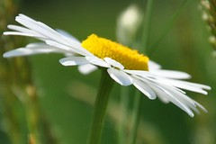 sunshine in your soul (christiaan_25) Tags: birthday morning white flower macro green sunshine yellow closeup happy petals angle bright perspective disk daisy sideview wildflower uneven ofpetalsandflowersgroup