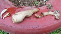 Tamandua bones