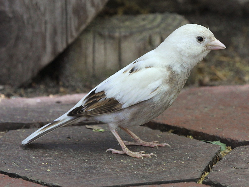 Leucistic House Sparrow