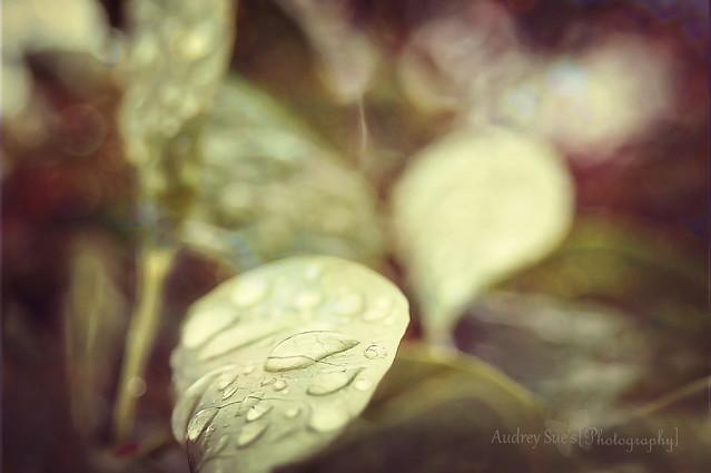 Grandma's Lilacs