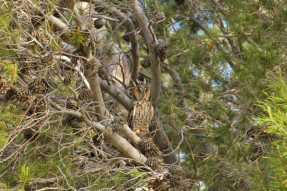 Long-eared-Owl-051108