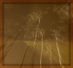 Bare Aspen Trees (Maria Najaka) Tags: picnik top20nm