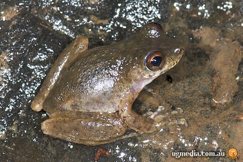 Common mist frog (Litoria rheocola)