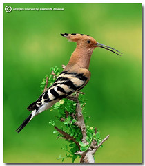 Hoopoe (ibrahem N. ALNassar) Tags: 30 canon eos d n l kuwait usm f56 ef hoopoe 30d 400mm      alnassar   anawesomeshot ibrahem   adigicam superstarthebest