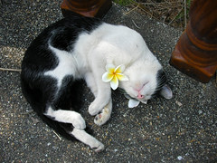 koh samui sleeping cat 0011 (soma-samui.com) Tags: travel cat thailand island asia resort samui koh         tourguidesoma soma