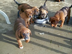 Puppies! (mountainbikezrcool) Tags: new old cute st bernard big puppies lab bright little kodak chocolate tripod 8 sunny rottweiler awsome terrier chewing chew playfull easy weeks rotweiler share easyshare