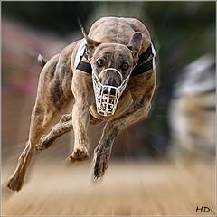 Greyhound_HD086658_WEB
