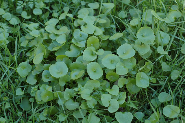 A patch of Miner's lettuce growing next to trail