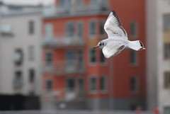 The Glide (Let Ideas Compete) Tags: sea white motion blur bird nature animal geotagged fly flying wings movement lift control sweden stockholm bokeh spirit seagull gull flight wing beak feathers location single soul essence gliding waterfowl scandinavia velocity soe scandinavian mapped glide airfoil aerodynamic sickla sicklaudde aerodynamics flickrexplore udde sthm platinumphoto sundayadventure goldstaraward stockholmcolors stkhm cheapadventure onamap showmewhere wingeffect soulofstockholm stockholmcolor spiritofstockholm