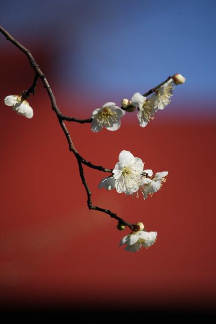 早春の梅花