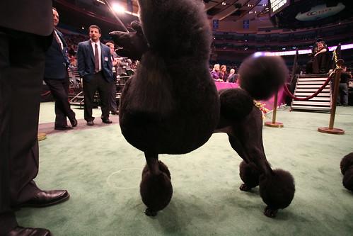 black poodle
