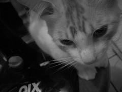 Qix fan (natalia phibes) Tags: blackandwhite bw cute cat fan kitten kitty pb gato pretoebranco ventilador qix catnipaddicts