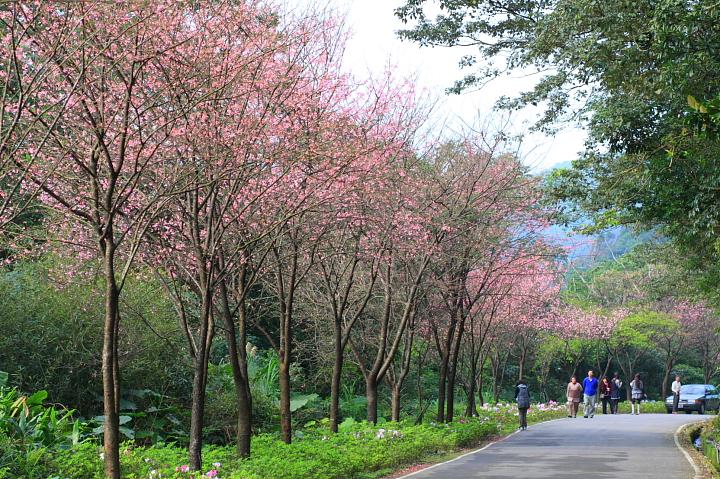 三芝櫻花60