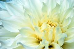 La dahlia blanca (Carrete digital) Tags: madrid flowers white flower detail macro art blanco beautiful rose garden lafotodelasemana interesting sevilla jin jardin petal most botanico fnac dhalia liang flowerotica lfs022009 liangjin