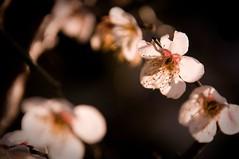 (simplysu) Tags: flowers flower bokeh neighbourhood  umenohana aroundtheneighbourhood snappingdreams seteoh