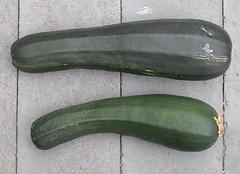 Zucchini-BlackBeauty-LargeFruit-8185