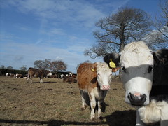 Cows in the Morning #2