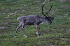 Suomi 2008 - 029 (Veraldar Nagli) Tags: animals suomi finland reindeer finnland inari lappland north norden skandinavien lapland ren saariselk lapin rentier nord kaunisp rangifertarandus 68