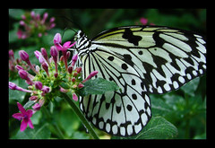 rice paper butterfly (Ambrosia_apples) Tags: seattle white black green butterfly purple wa sciencemuseum tropicalbutterflyhouse naturesfinest ricepaperbutterfly happinessconservancy wmk0309 seattlepacificsiencecenter