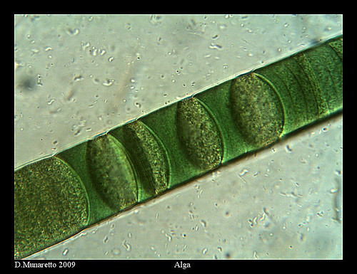 Algae Identification  Government of Canada Publications