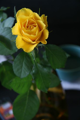 Yellow Rose for the Womens Day